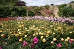 Roses at Hever Image
